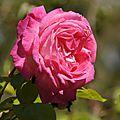 Rose 11-10-14