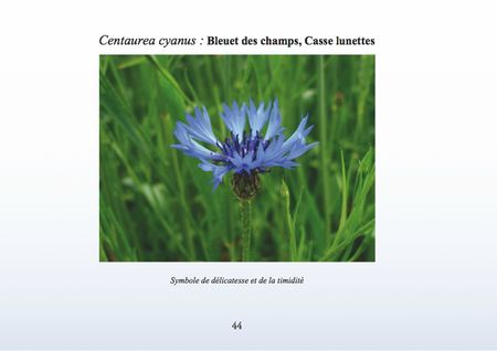 Centaurea-cyanus-Bleuet