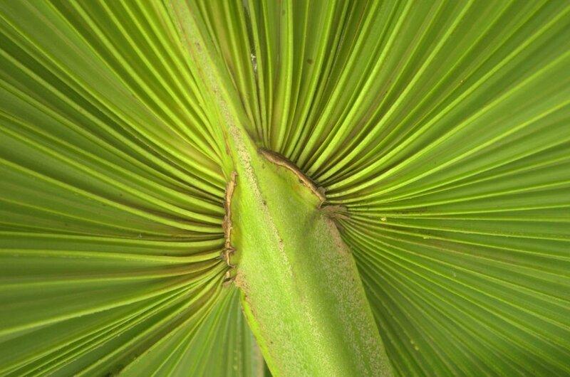 feuille de palmier de Bismarck