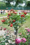 Fête Ecurie du Val Fête de la rose à Veules 269