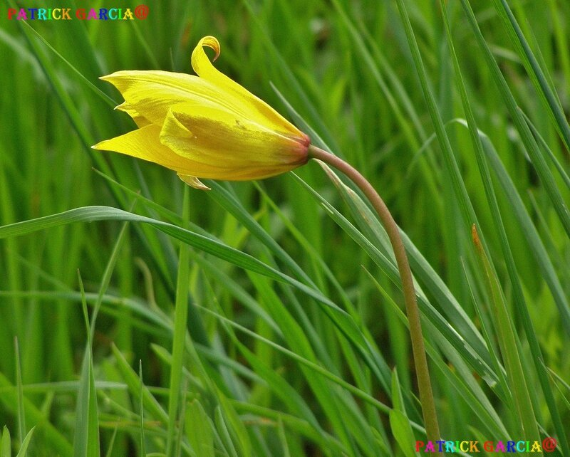 Tulipa sylvestris454_1a3 86 copie
