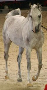 Championnat du monde du cheval arabe le 11 12 10 (99)