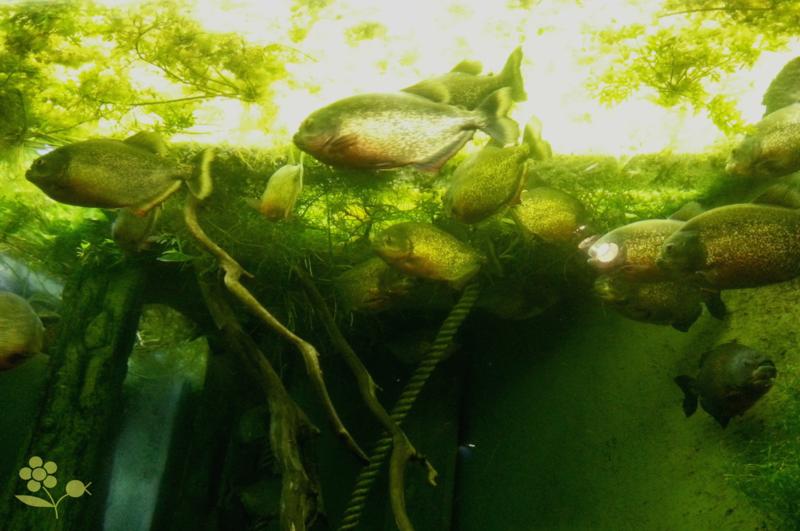 Saint Malo, Grand aquarium, piranhas