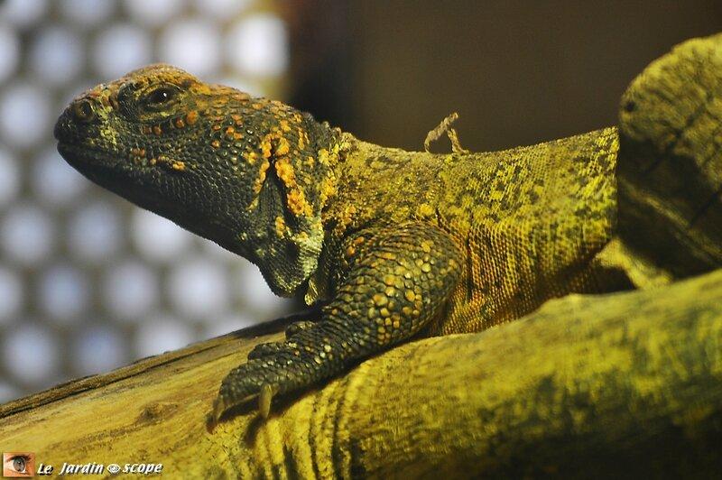 Fouette-queue • Uromastyx acanthirunus