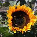 2009 08 01 Une fleur de tournesol
