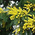 Mimosa 230116