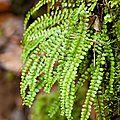 Fougère des murailles - Asplenium trichomanes