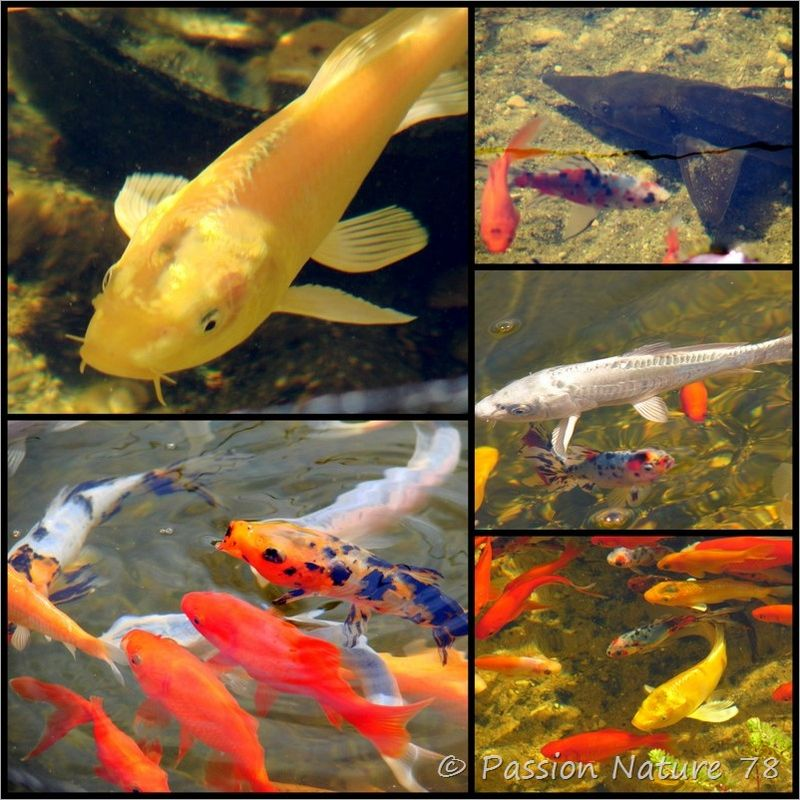Les poissons de mon bassin (8)