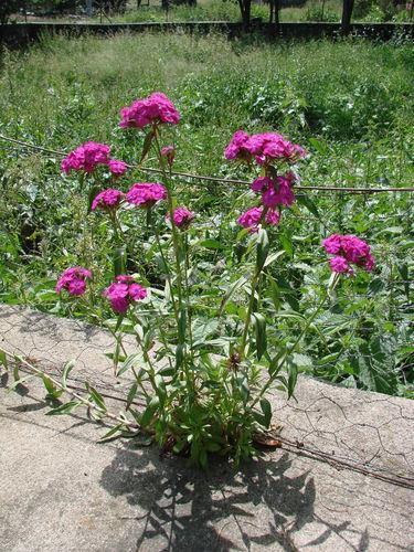 2008 06 29 Un plant d'oeillet de poètes qui a poussé dans un trou dans le mur