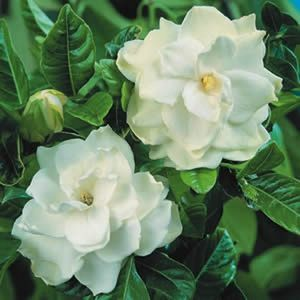 Gardenia_aug_florida-01