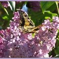 Lilas et Machaon 2204153