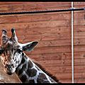 Zoo de Copenhague : la girafe
