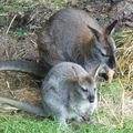 Kangourous en Auvergne (bébé et maman)