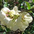 Cognassier à fleurs • Chaenomeles speciosa 'Moerloosei'