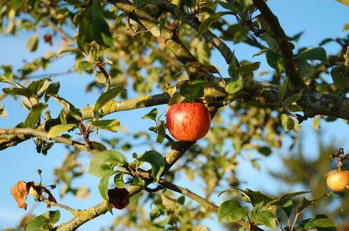 30-10-11 La dernière pomme