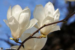 Magnolia_denudata_2