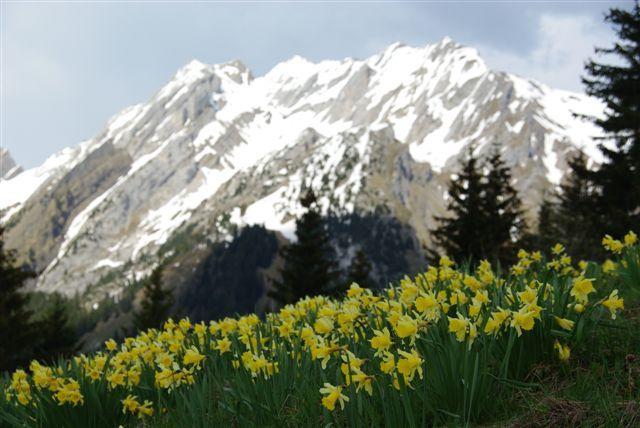 jonquille 3 - Photo de Montagne - Une pause au chalet de Laura: laura74.canalblog.com/albums/montagne_passion/photos/32944987...