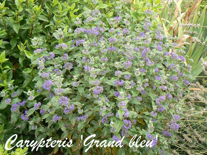 carypteris_grand_bleu
