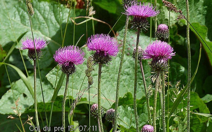carduus defloratus subsp defloratus 02