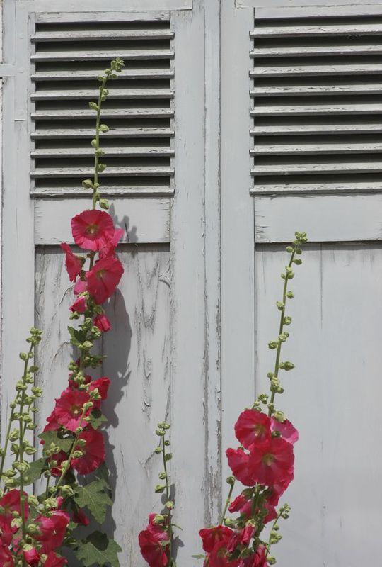 ROSE TREMIERE-ILE DE RE JUIN 2012 (3)