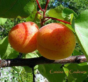 abricots rouge du roussillon