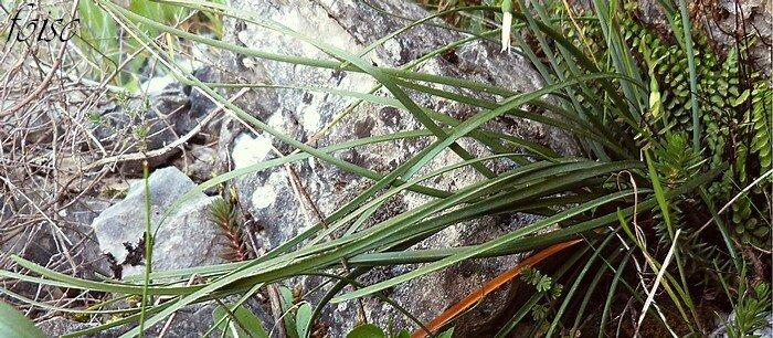 feuilles linéaires naissant avant les fleurs