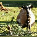Chèvre 150215