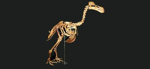 Dodo - Science Museum of Durban