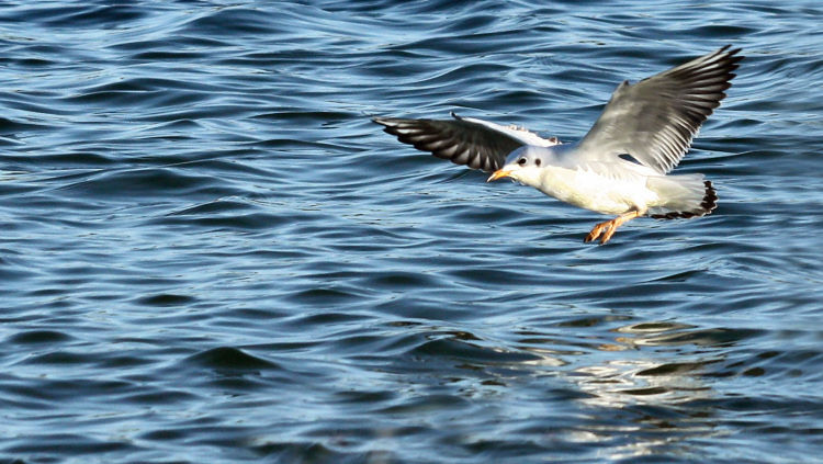 Mouette_atterrissage_IMG_3530
