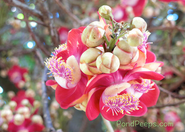 Flowers_of_the_Cannonball_tree_Couroupita_guianensis