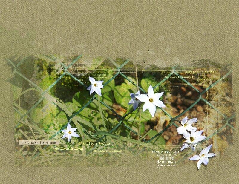 Iphéion_Fleur étoiles-01