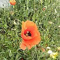 rouge-coquelicots (5)