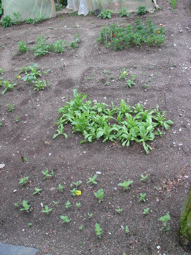2008 07 03 Mes fleurs annuelle, rangée n°5