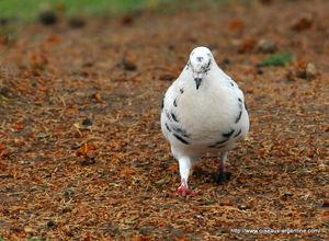 Pigeon_biset_4