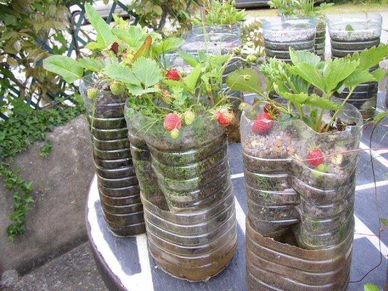 Fraisiers en systemes de 5 litres le petit jardin des ecoliers jardiner l 39 cole - Le petit jardin watou creteil ...