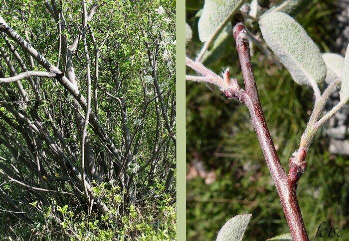 arbuste 1-3 m rameaux inermes