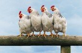 poules_5