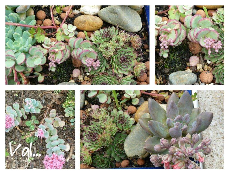 collagesedums