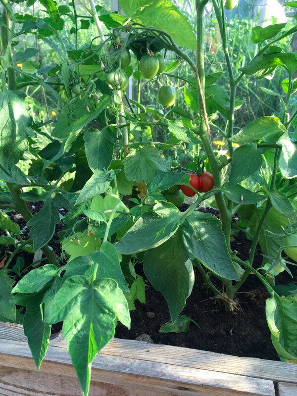 tomates - 2