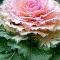 Chou rose