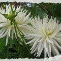 Dalhia blanc