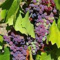Le raisiné