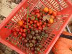 4-tomates (serre) (1)