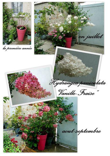 Hortansia vanille fraise hydrangea paniculata