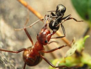 Fourmi rouge contre fourmi noire