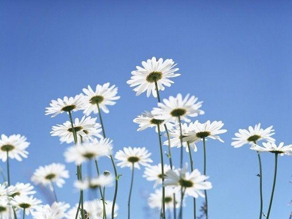 Daisy----L'amour au fond du coeur.