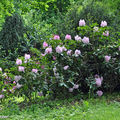 Ilot de rhododendrons roses