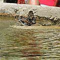 Aiguines, fontaine, oiseaux se baignant (83)