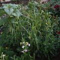 2009 08 07 Mélange de fleurs pour oiseaux