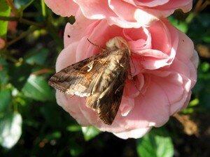 papillon_sur_une_rose